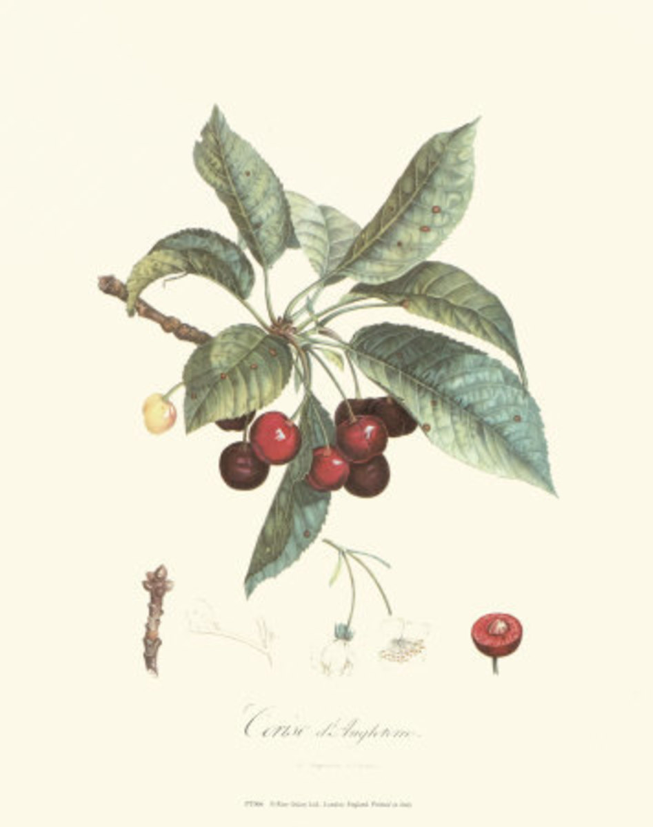 how to grow cherries at home