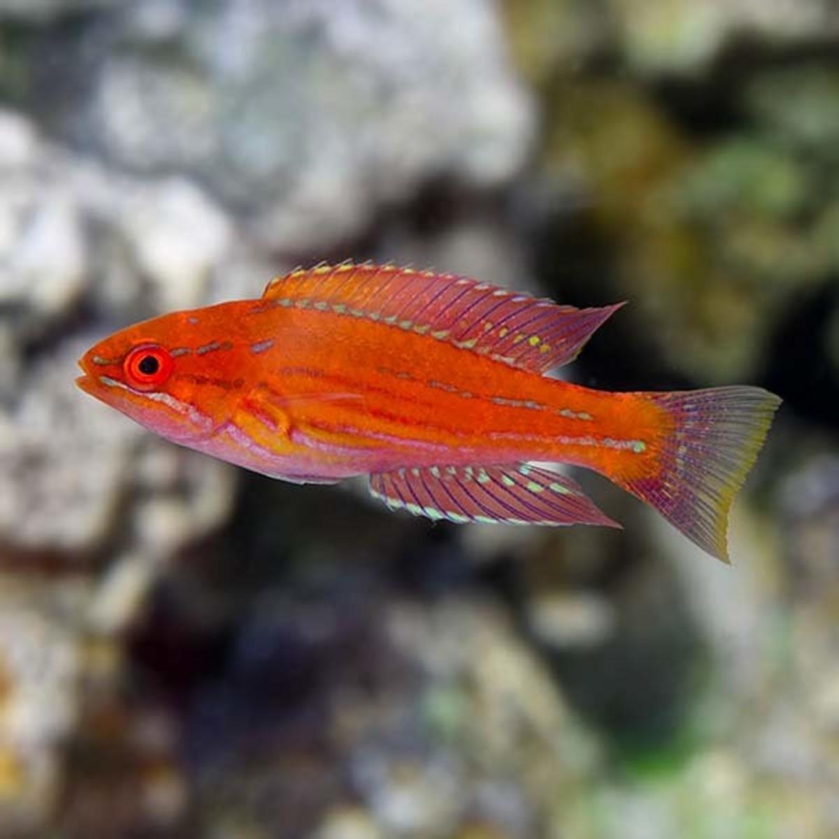 home-aquarium-how-to-care-for-carpenters-flasher-wrasse