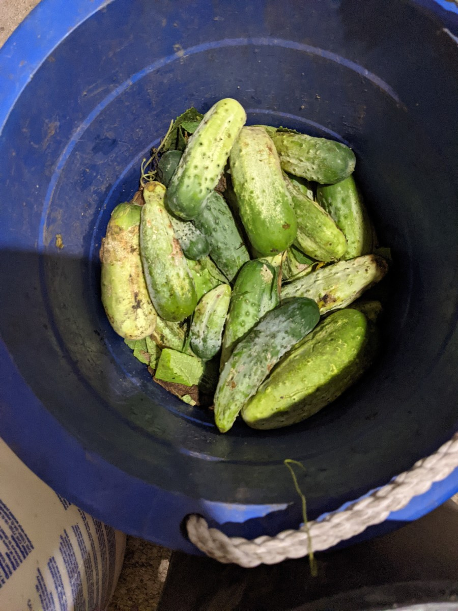 cucumber-sorting-for-pickle-making