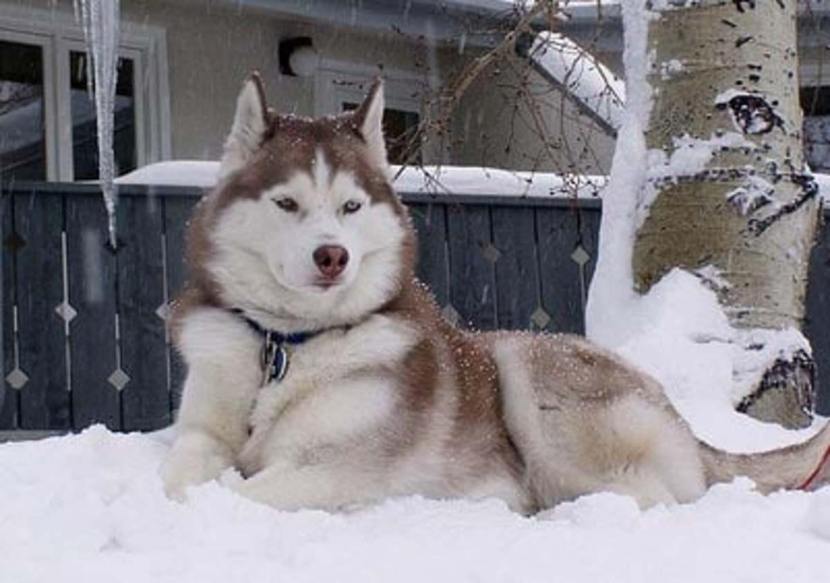 Owning a Siberian Husky