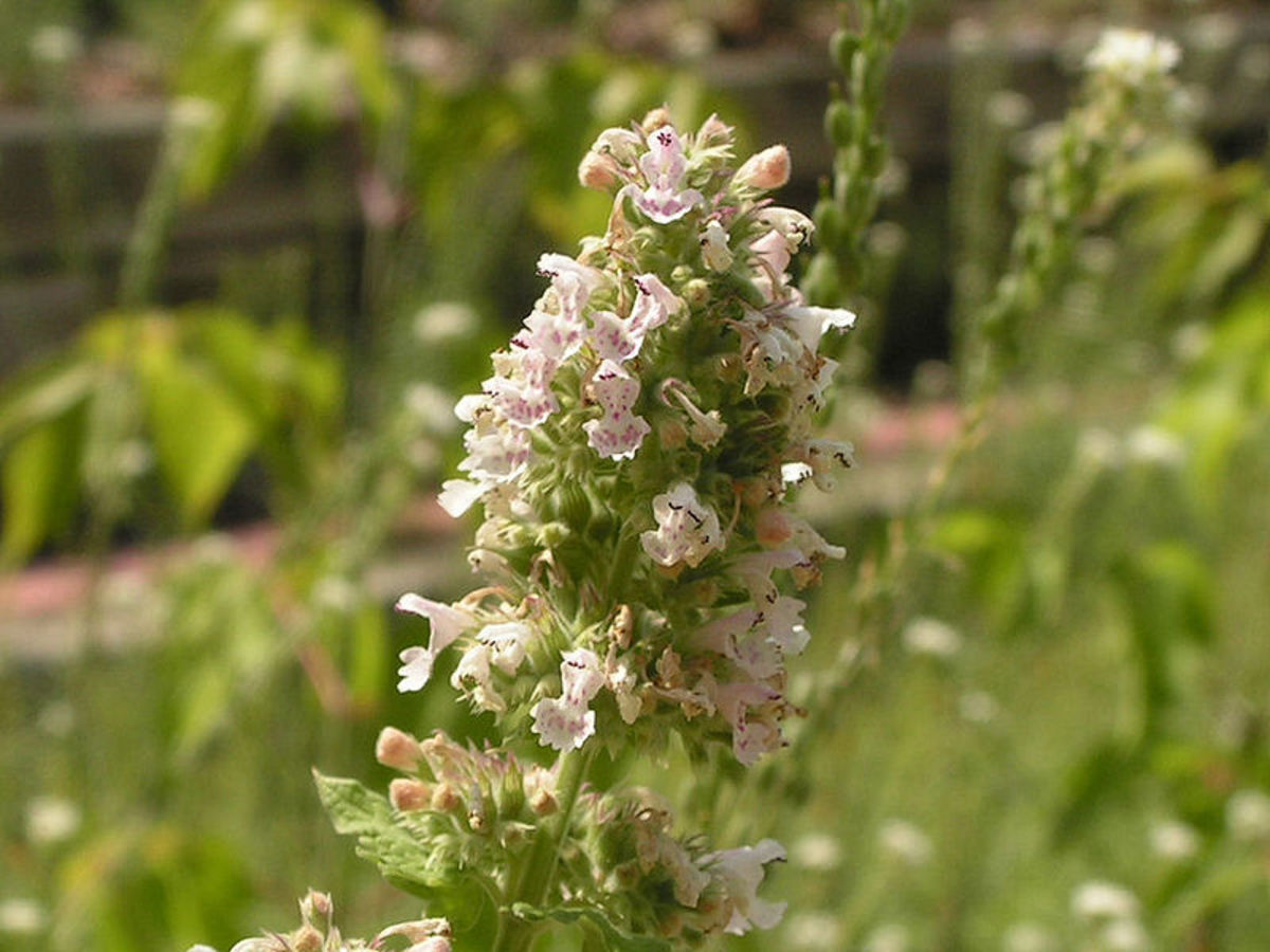 The plant of Catnip or Nepeta cataria