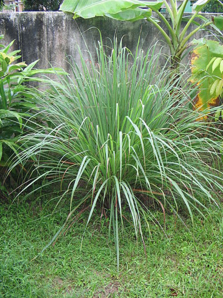 Cymbopogon or Lemon Grass, or Citronella Grass or Fever Grass