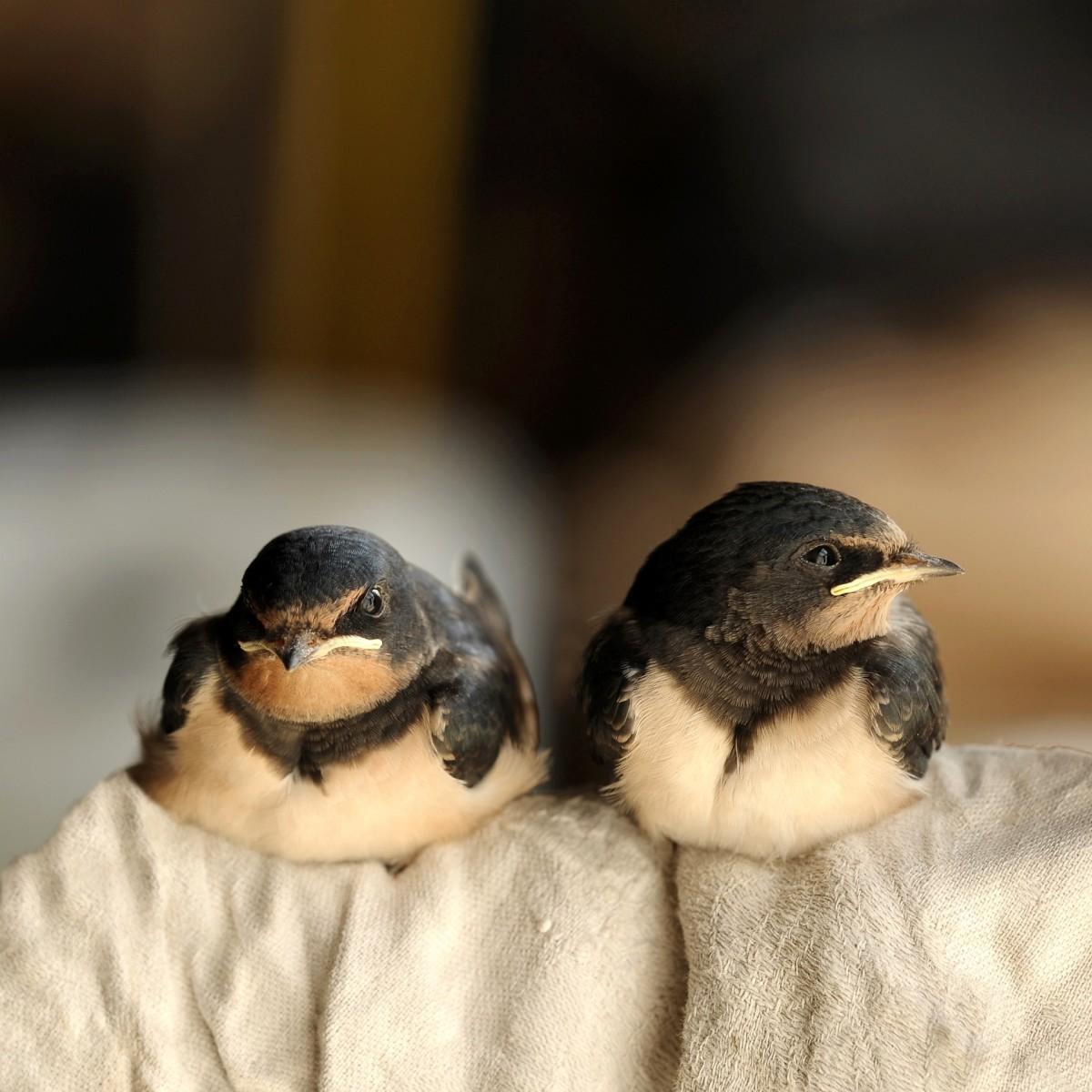Barn swallows eat mosquitos.