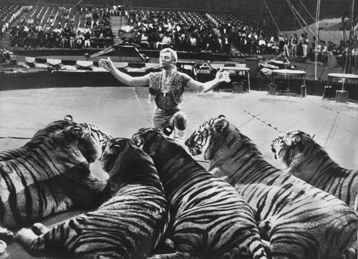 Gunther Gebel-Williams with his trained tigers in the Ringling Bros. and Barnum & Bailey Circus in 1969.