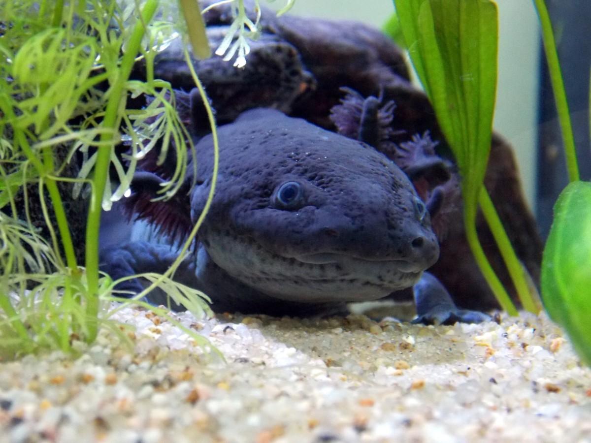 the-axolotl-quiz