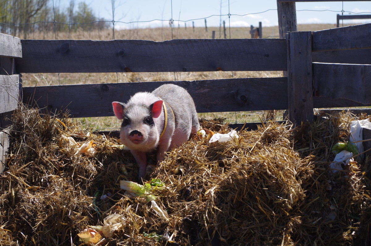 Our pig, Ramses, turning the compost