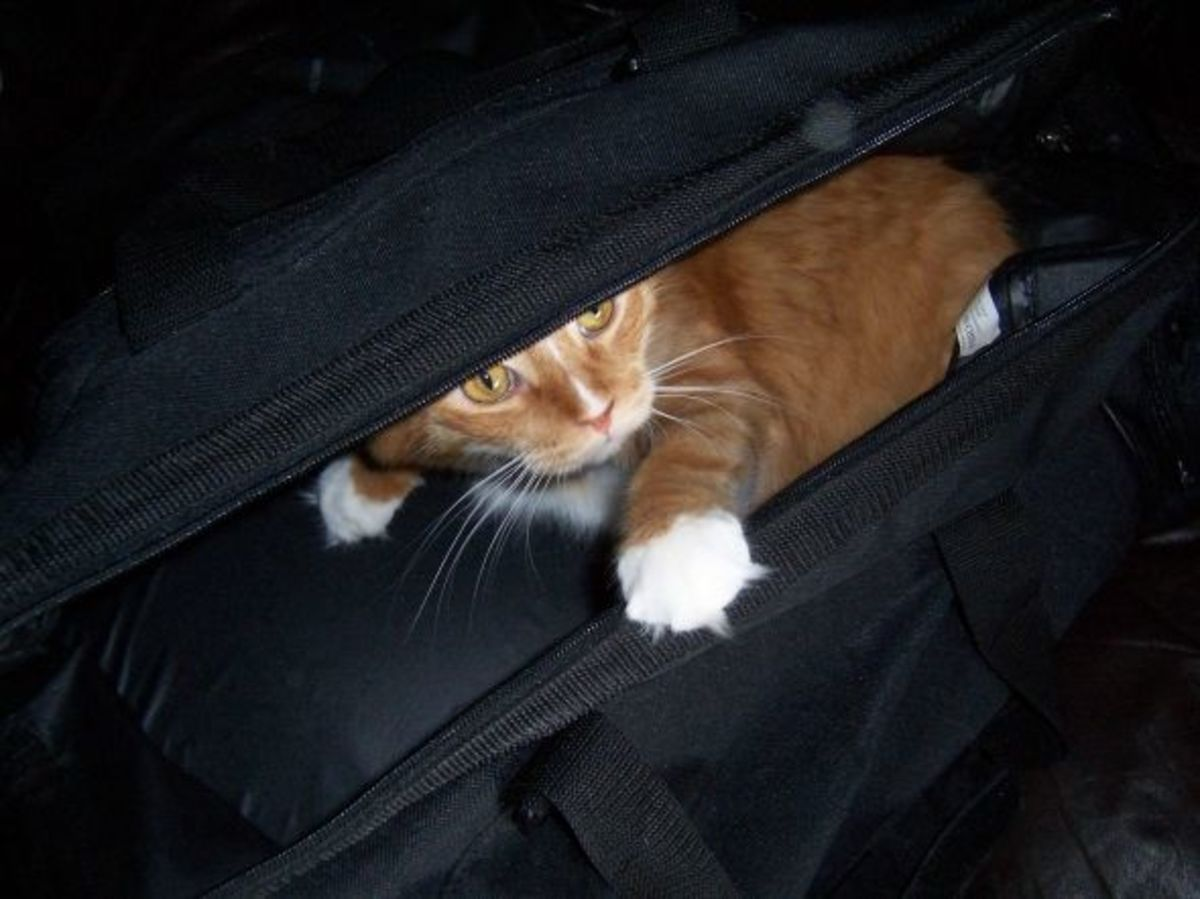 A red cat in my carry-on bag.