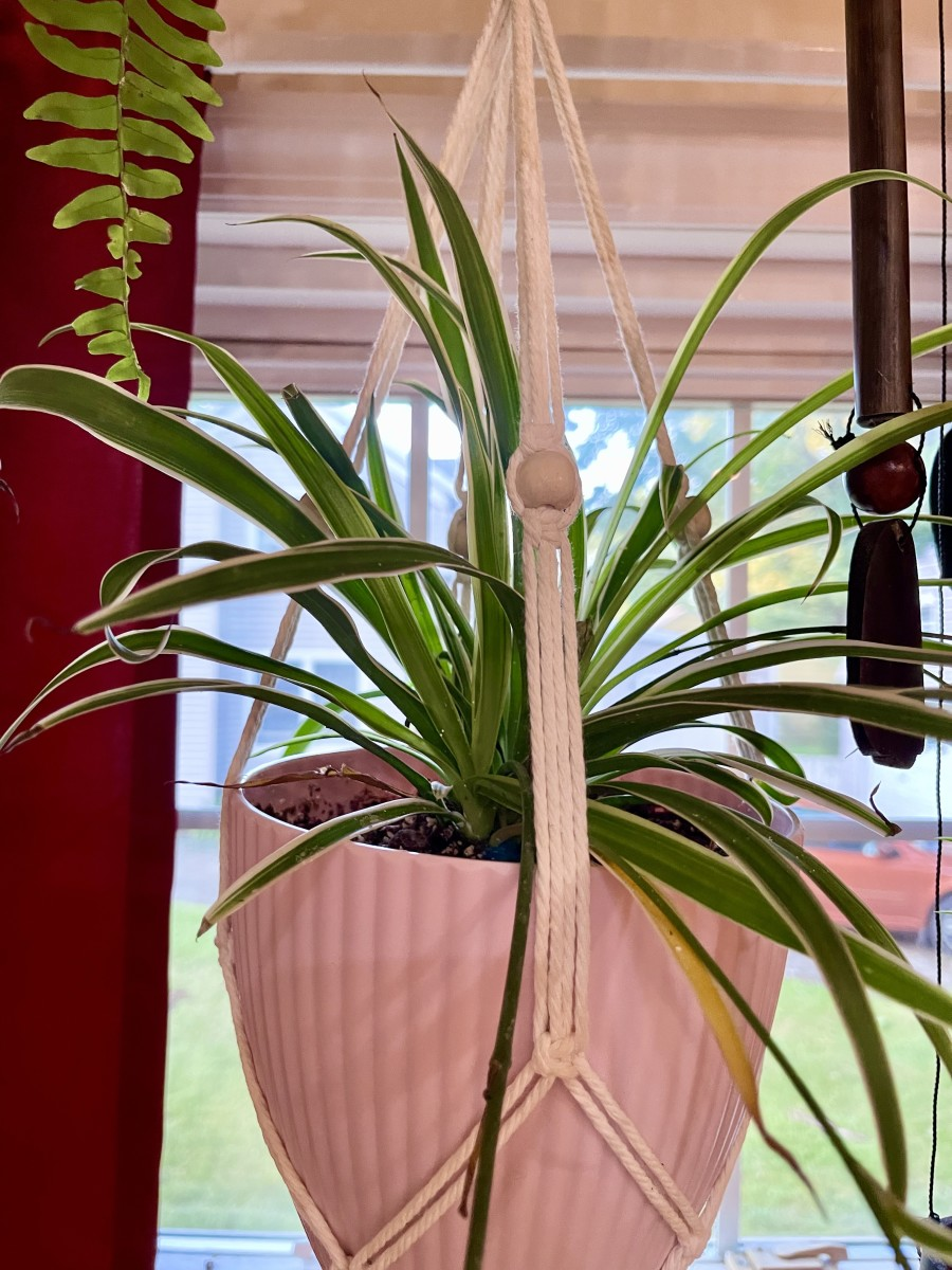 "Reverse Variegated Spider Plant Chlorophytum comosum ""Variegatum"""