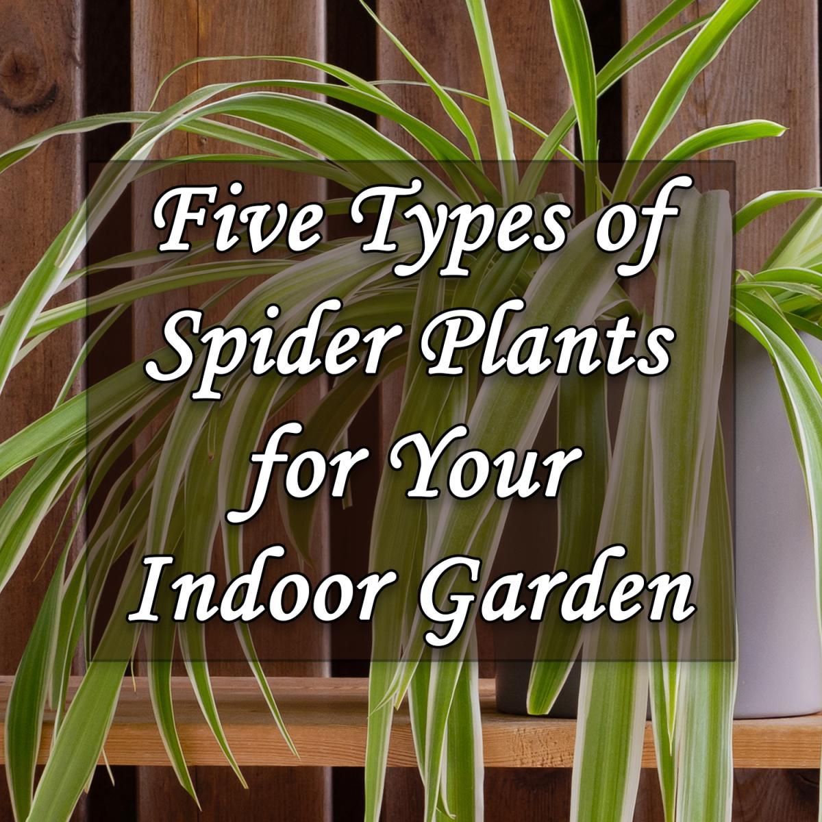 Five Types of Spider Plants for Your Indoor Garden