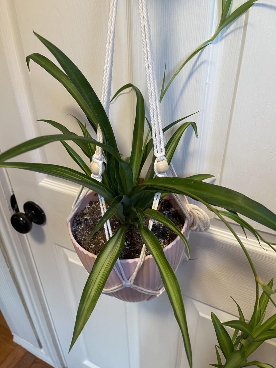 Hawaiian Spider Plant Chlorophytum comosum 'Hawaiian'