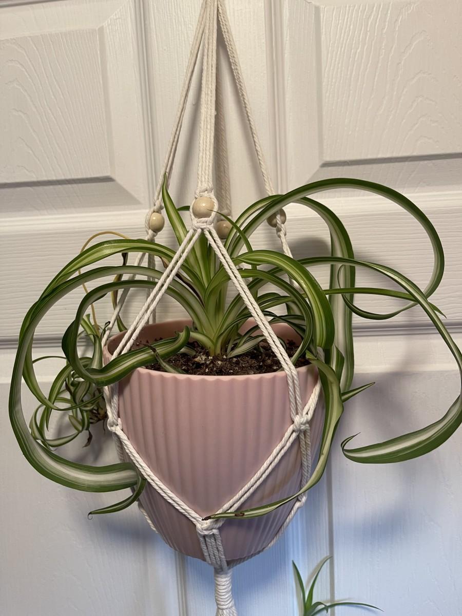 """Curly or """"Bonnie"""" Spider Plant Chlorophytum comosum """"Bonnie"""""""