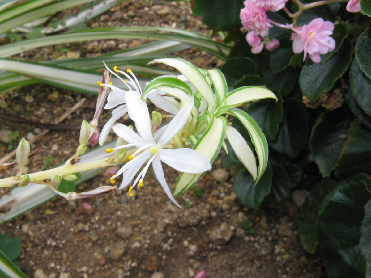 A spider plant flower and spiderette