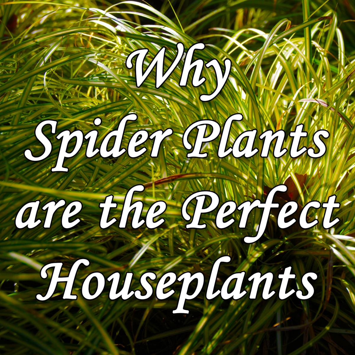 Why Spider Plants are the Perfect Houseplants