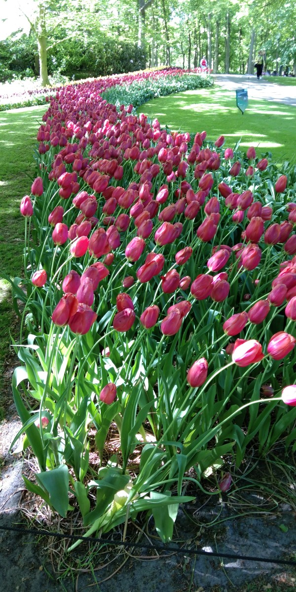 Blossomed Tulips