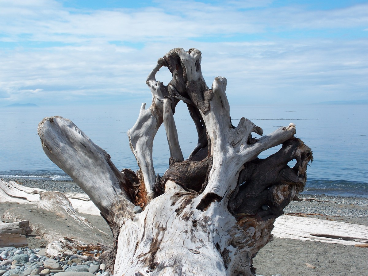 Giant tree trunk on the beach.  Olympic National Park.  Washington.