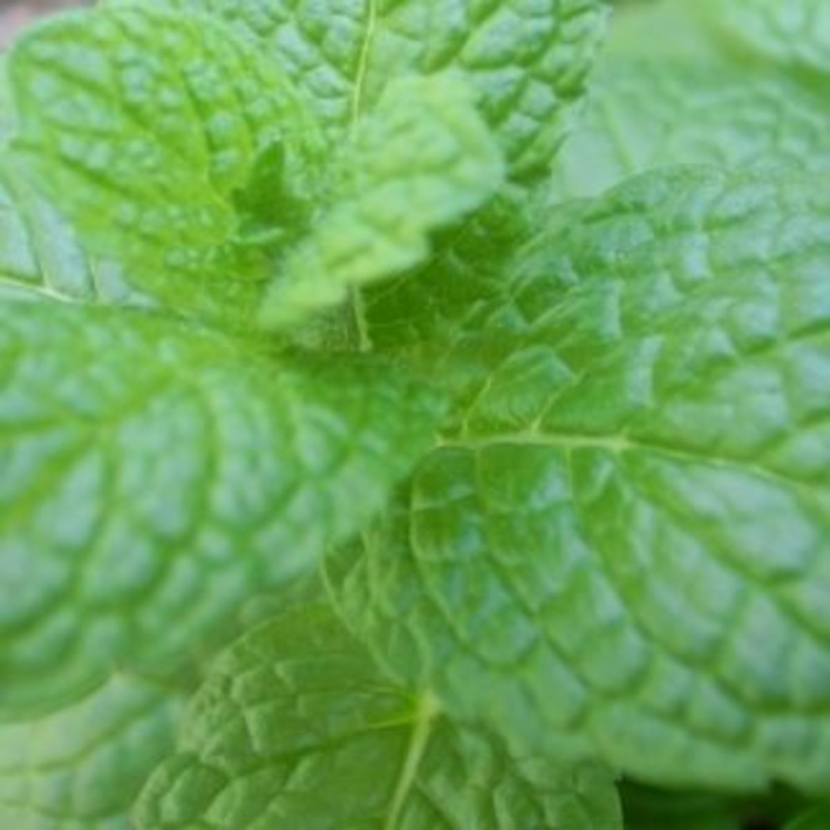 Can Mint Tea Heal?