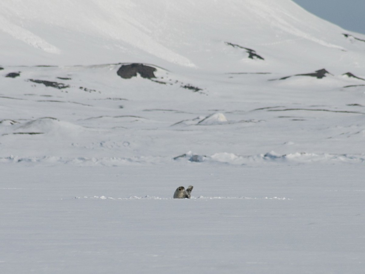 Ringed seal on the ice near Svalbard.  Image courtesy M. Buschmann and Wikimedia Commons.