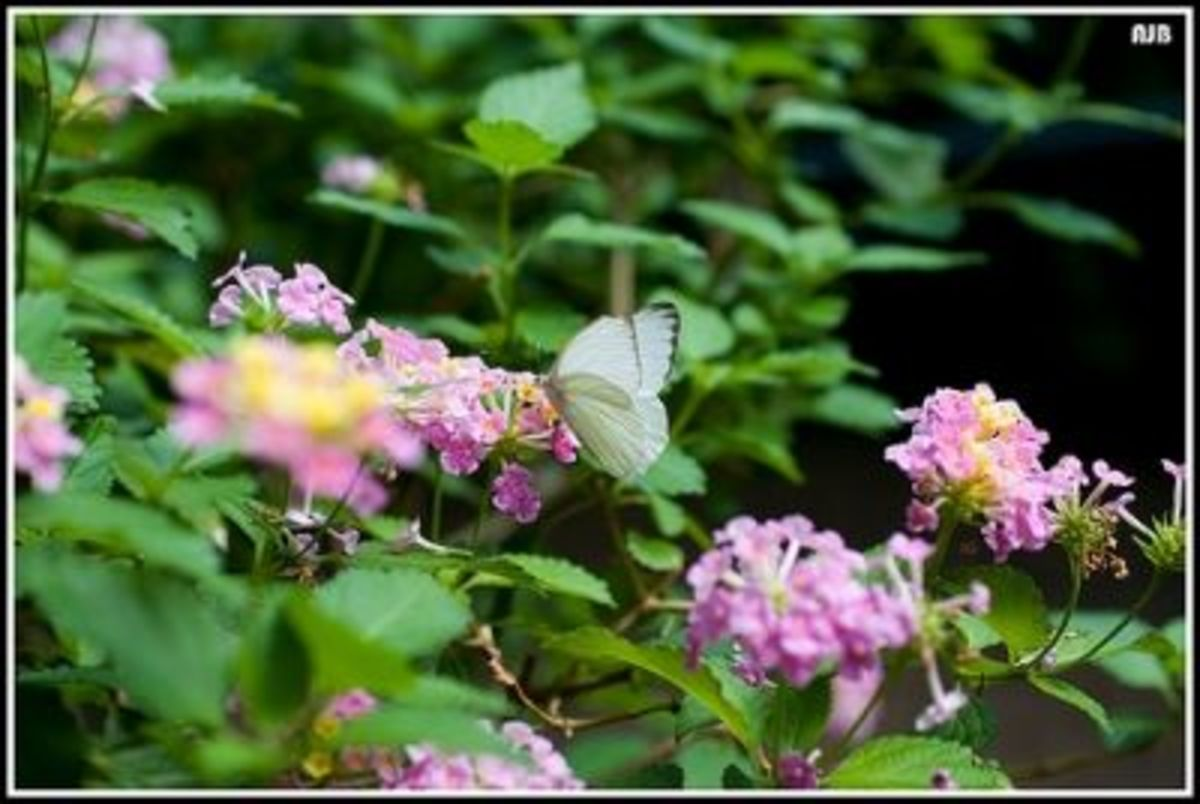 Alighting on Lantana blooms