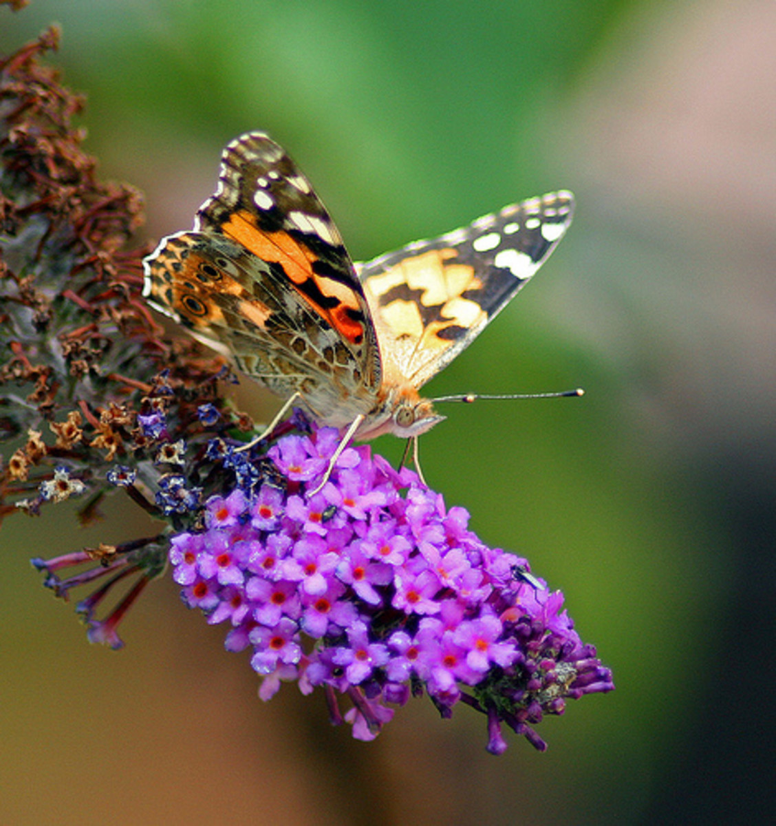 Painted Lady butterfly on Butterfly bush bloom (Buddleia). Bring Lepidoptera into your garden