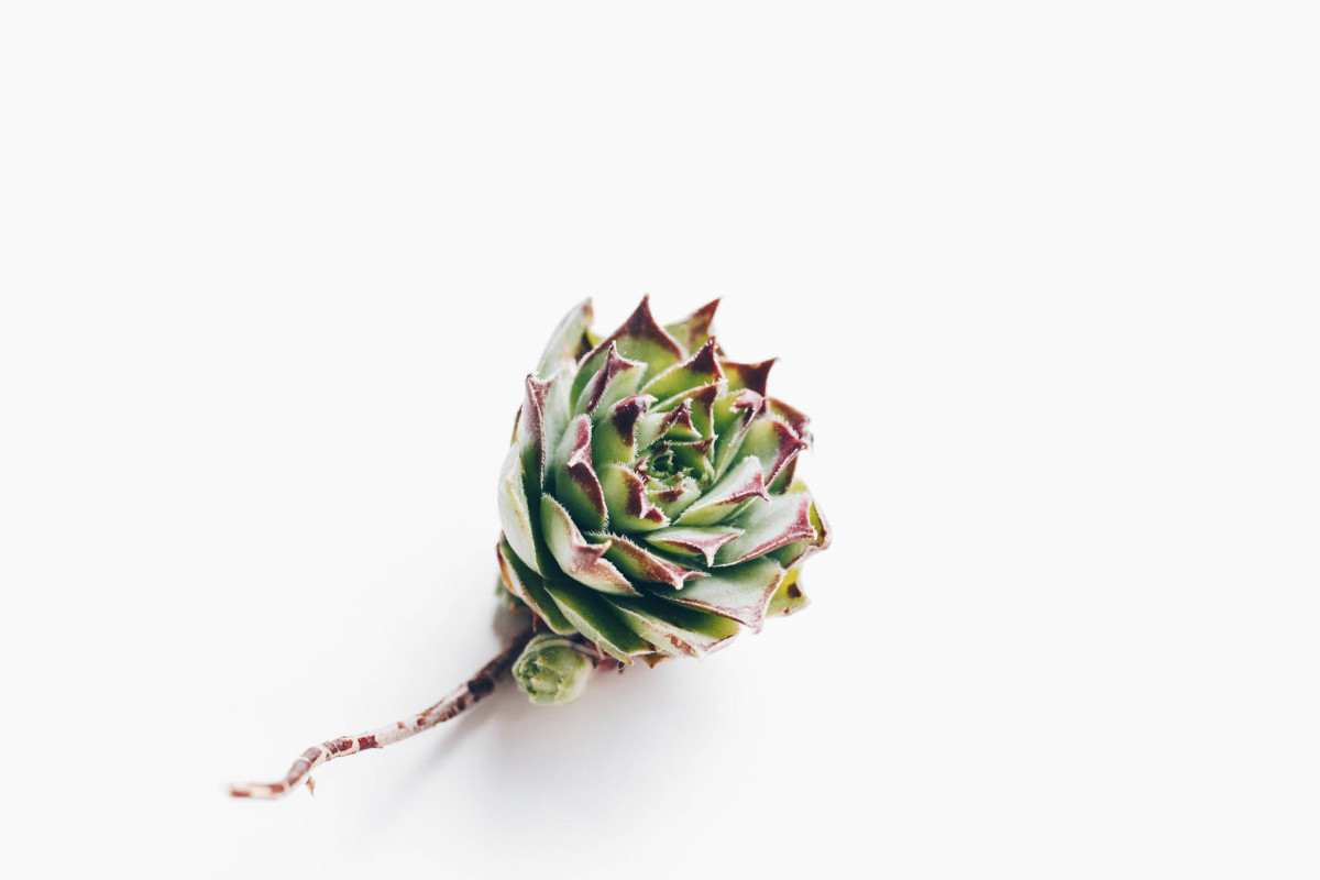 Most succulents require little to no soil to be viable, especially Sempervivum like this one.