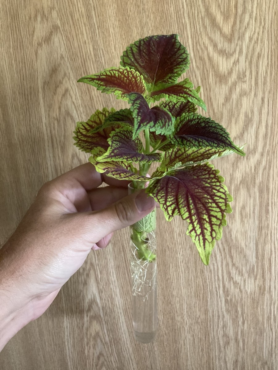 Know what you're trading for! Coleus like this one develop roots easily and quickly in water, and plants with well-developed root systems are a better value than fresh cuttings.