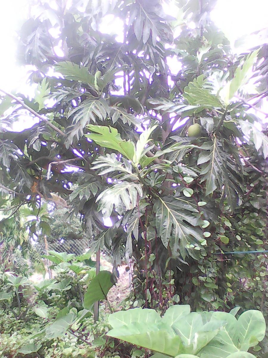 Breadfruit tree showing leaves...