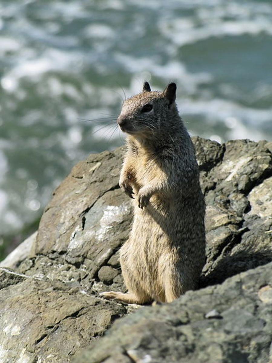 my-wild-pet-pocket-mouse