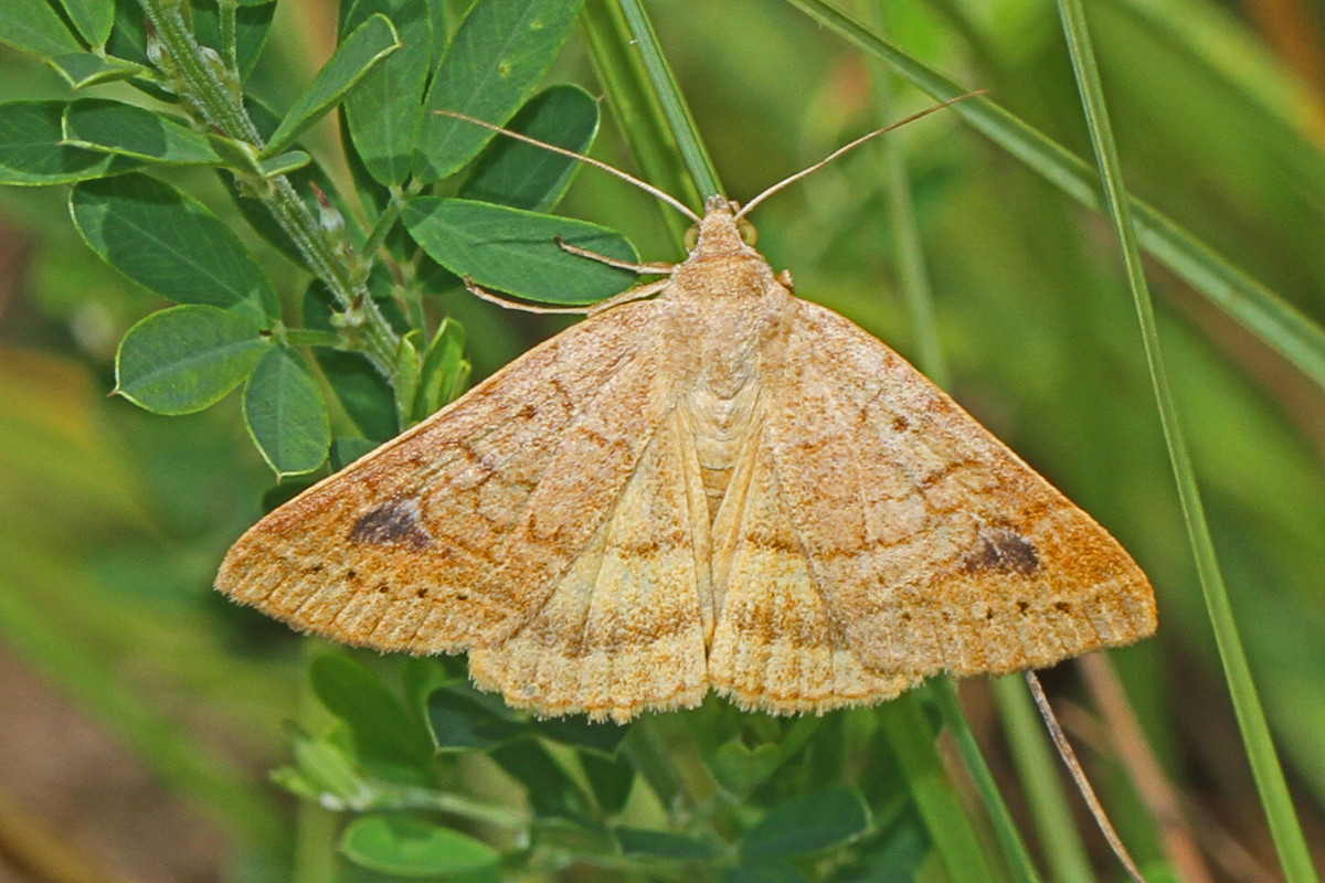 Corn earworm moths lay their eggs on corn crops.