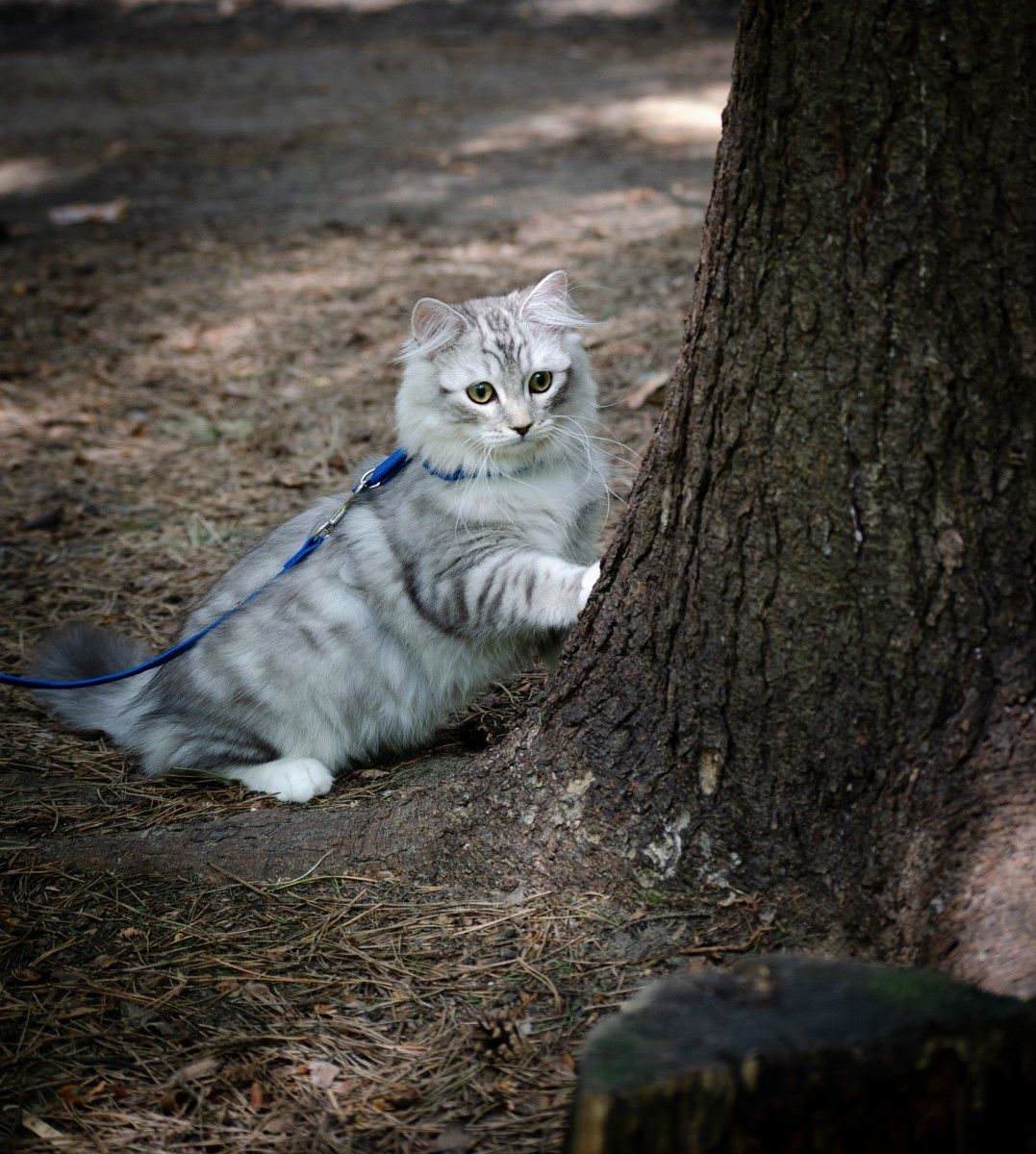 Leashes and harnesses make it safe for kitties to go for walks outside.