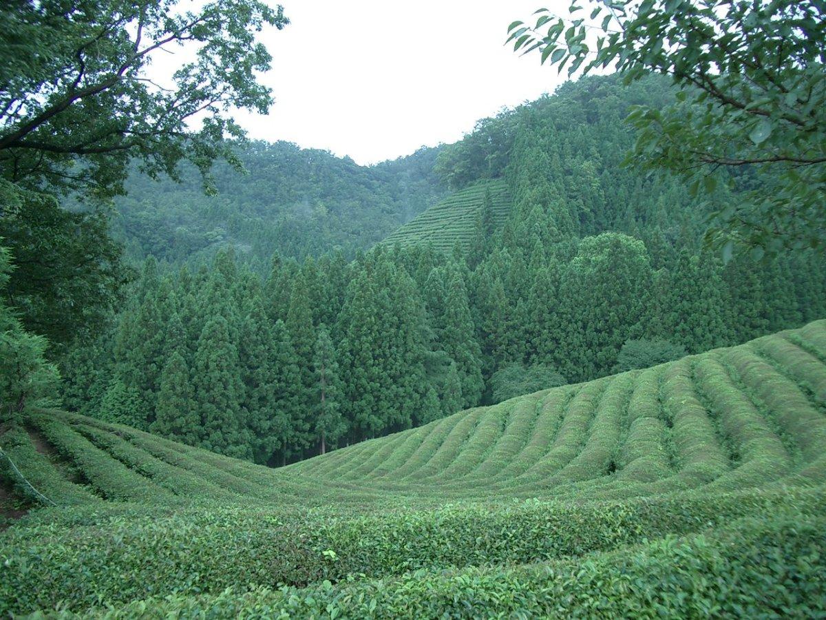 Green tea plantation in Korea