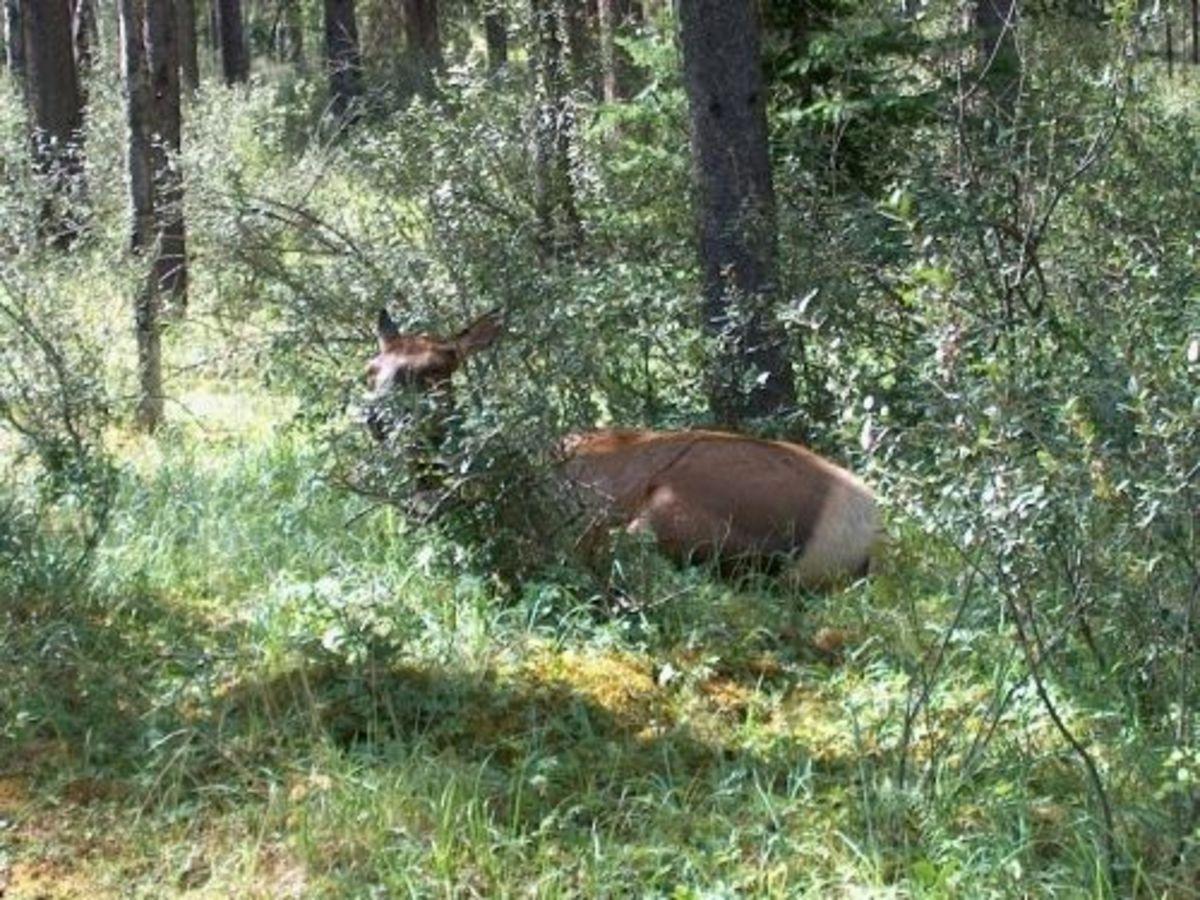 Wildlife in Jasper National Park.