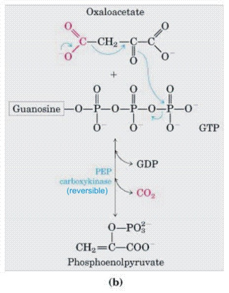 Phosphoenolpyruvate Carboxykinase -Pepck-C Enzyme
