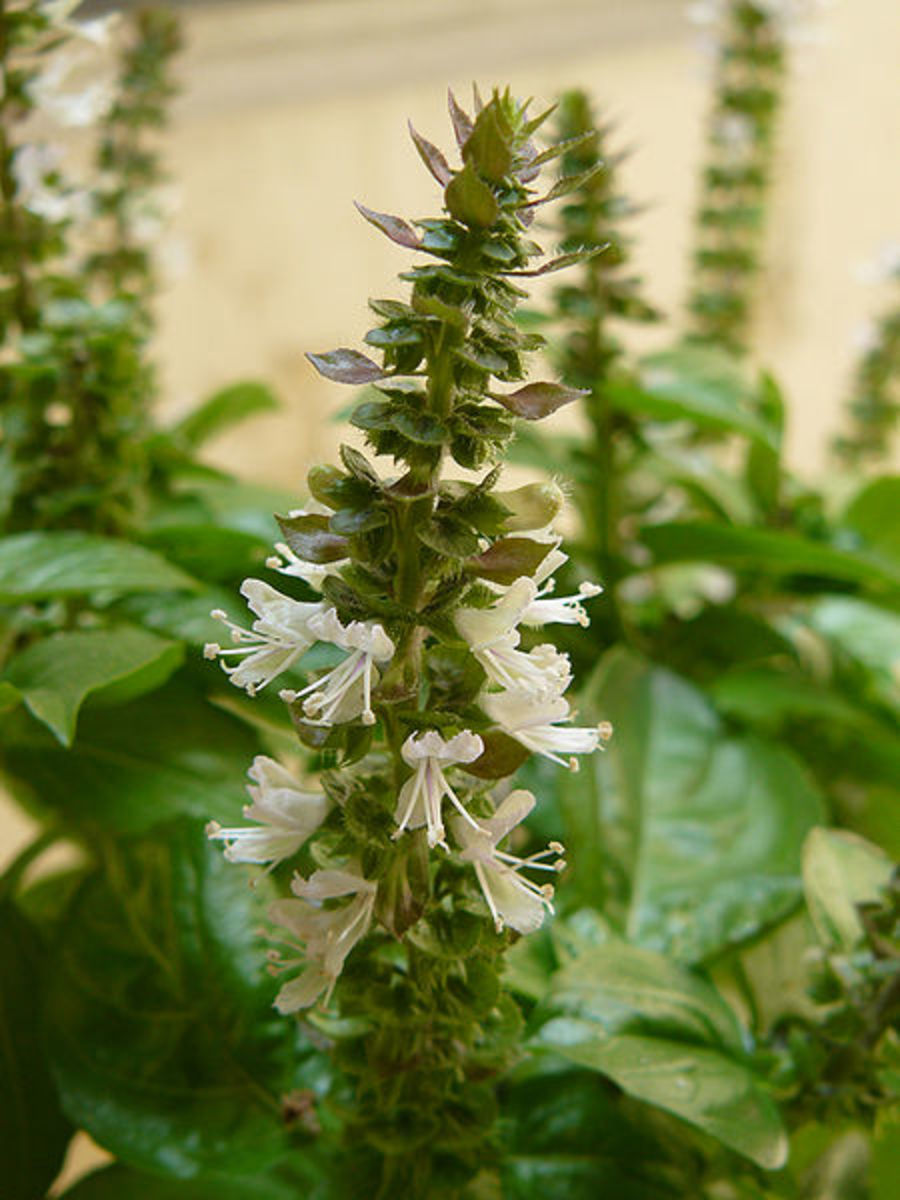 A flowering basil plant, with leaves showing around the stalk. Image is in the public domain.
