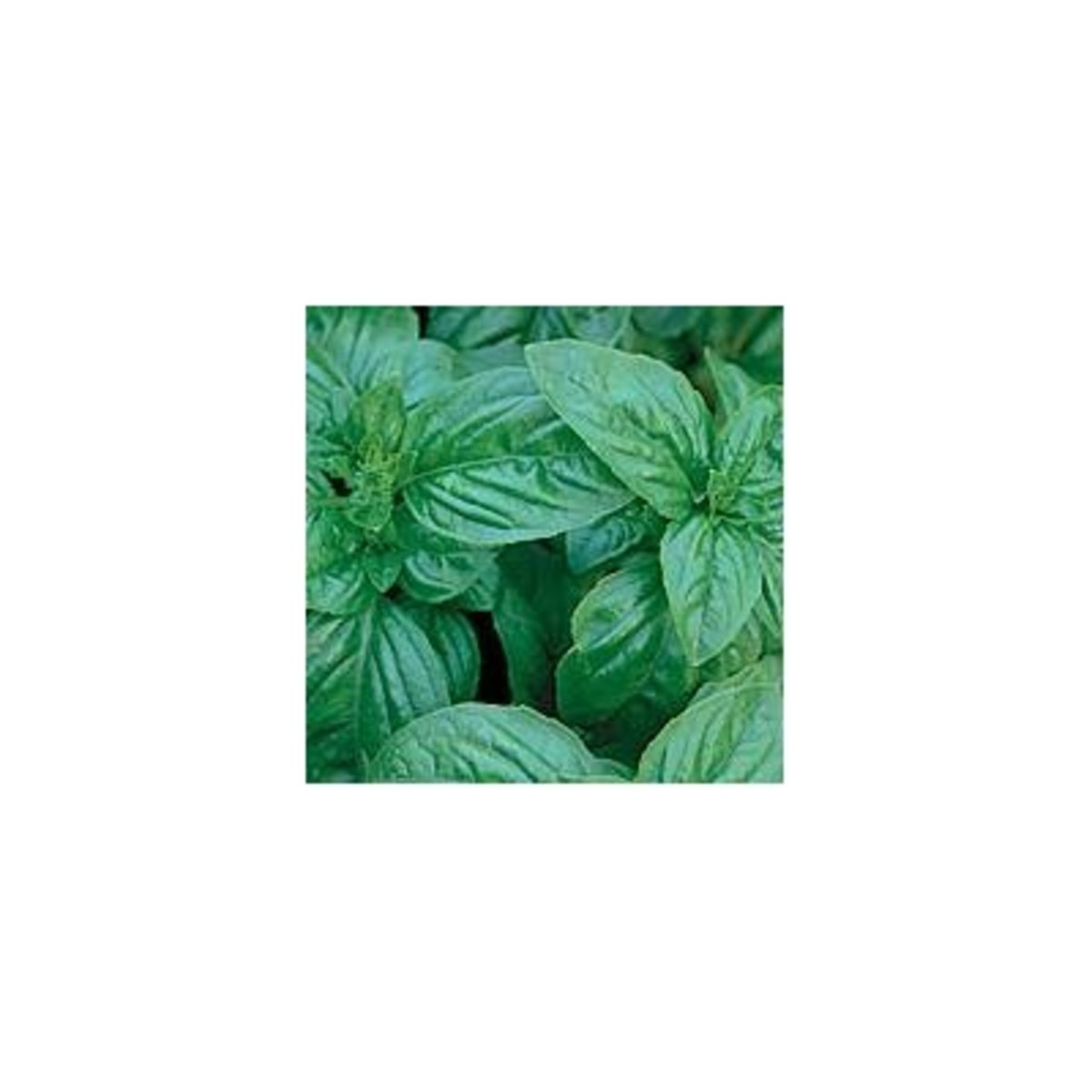 basil-oil-the-health-and-aromatherapy-properties-of-basil-essential-oil