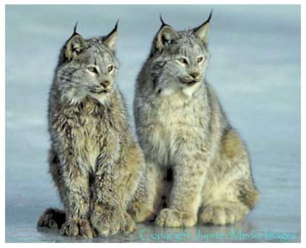 A UNESCO World Heritage Site, Kluane National Park Reserve lies in the southwest corner of the Yukon Territory and has more than 2000 glaciers in its ice field.  Predators thrive in this wild, remote environment - timber wolves, lynx, grizzly bears,
