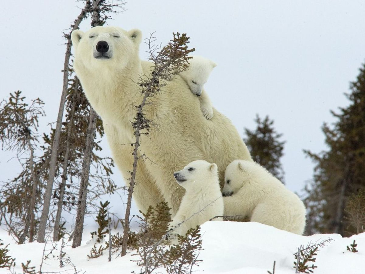 Mother polar bear with cubs, Wapusk National Park/Source of photo: www.firstpeople.us/ pictures/polar-bears