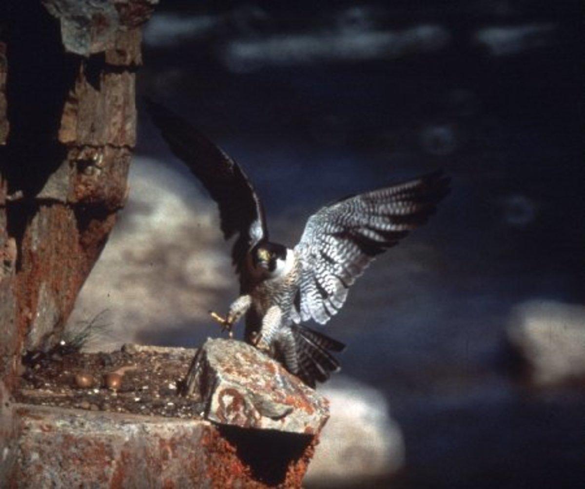 Peregrine Falcon, Tuktut Nogait National Park/Photo by:Joachim Obst  Parks Canada