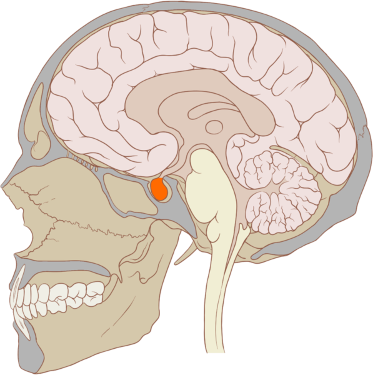The pituitary gland (colored red) in the brain produces a small amount of ghrelin.