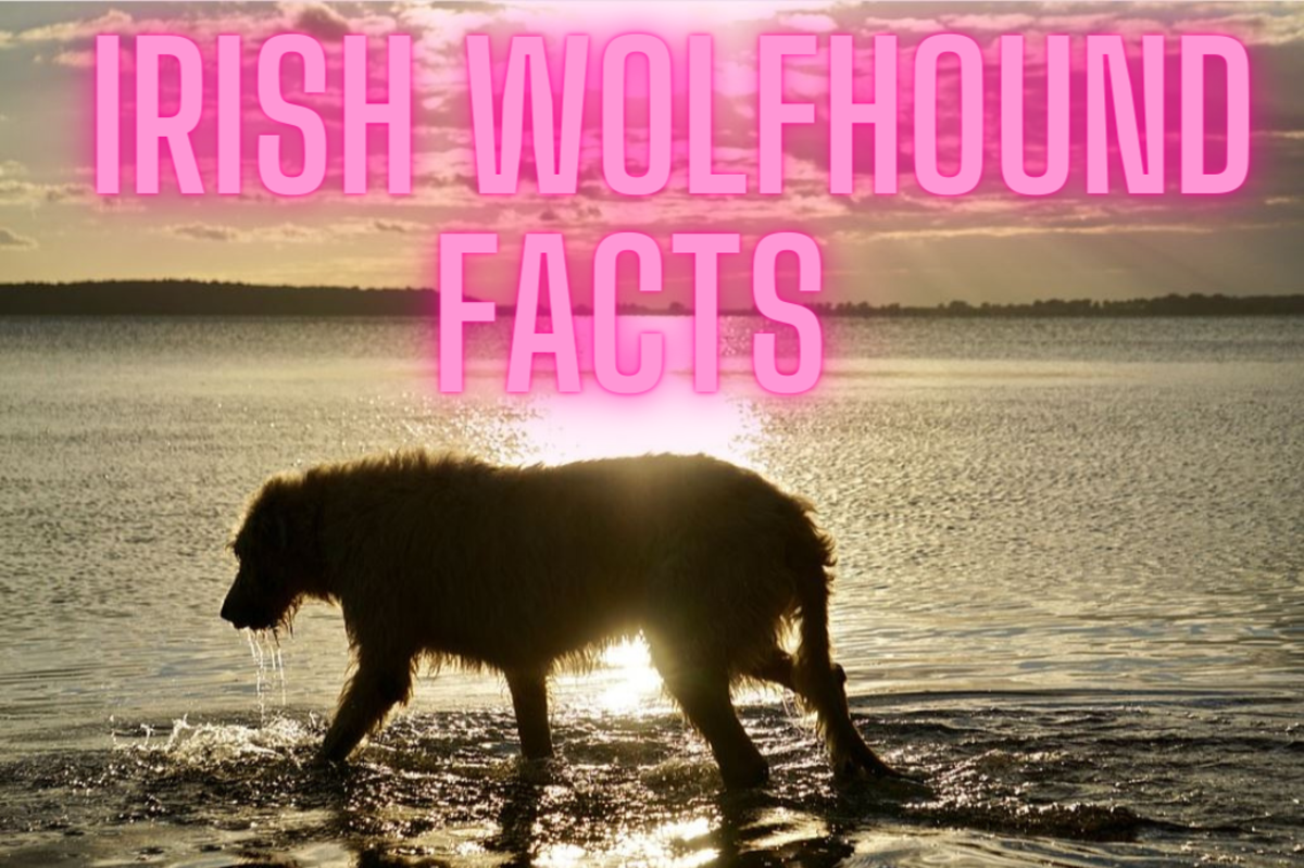 11 Facts About Irish Wolfhounds You Need to Know