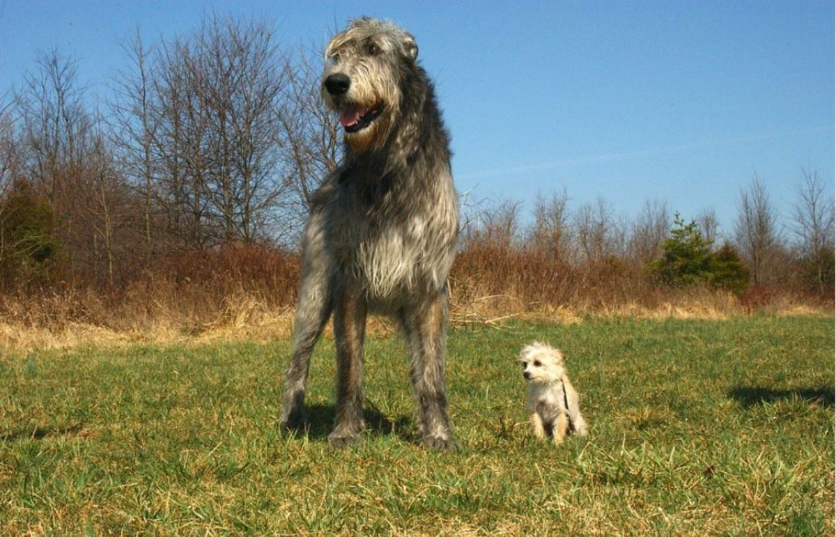 The Irish wolfhound is the tallest of all the dog breeds categorized by the American Kennel Club.