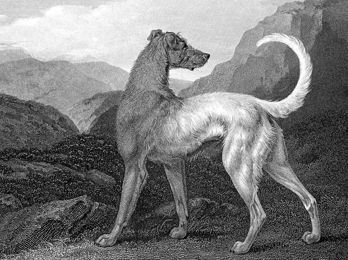 Irish wolfhounds are prone to chasing (and potentially injuring and even killing) smaller animals.