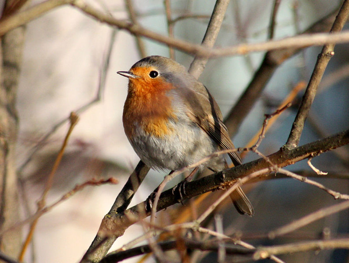 Facts on the Little Robin Redbreast