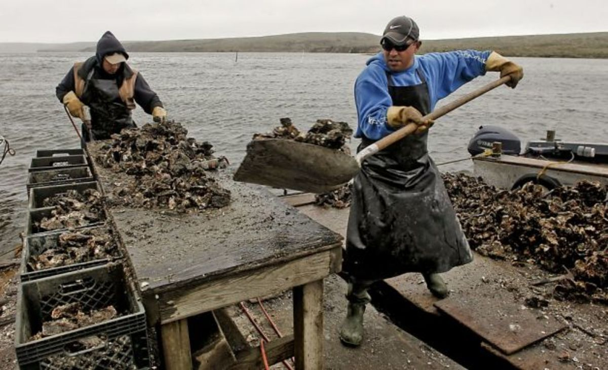 Oyster harvesting from the Drakes Bay Oyster Farm, Point Reyes National Park Estuary