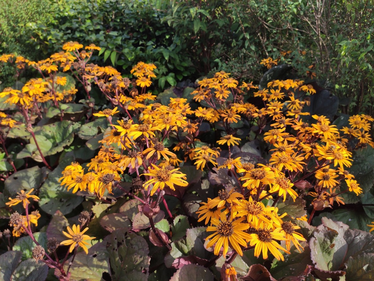 If you look closely, you'll see many bees enjoying the blooms on this Ligularia 'Britt-Marie Crawford'.