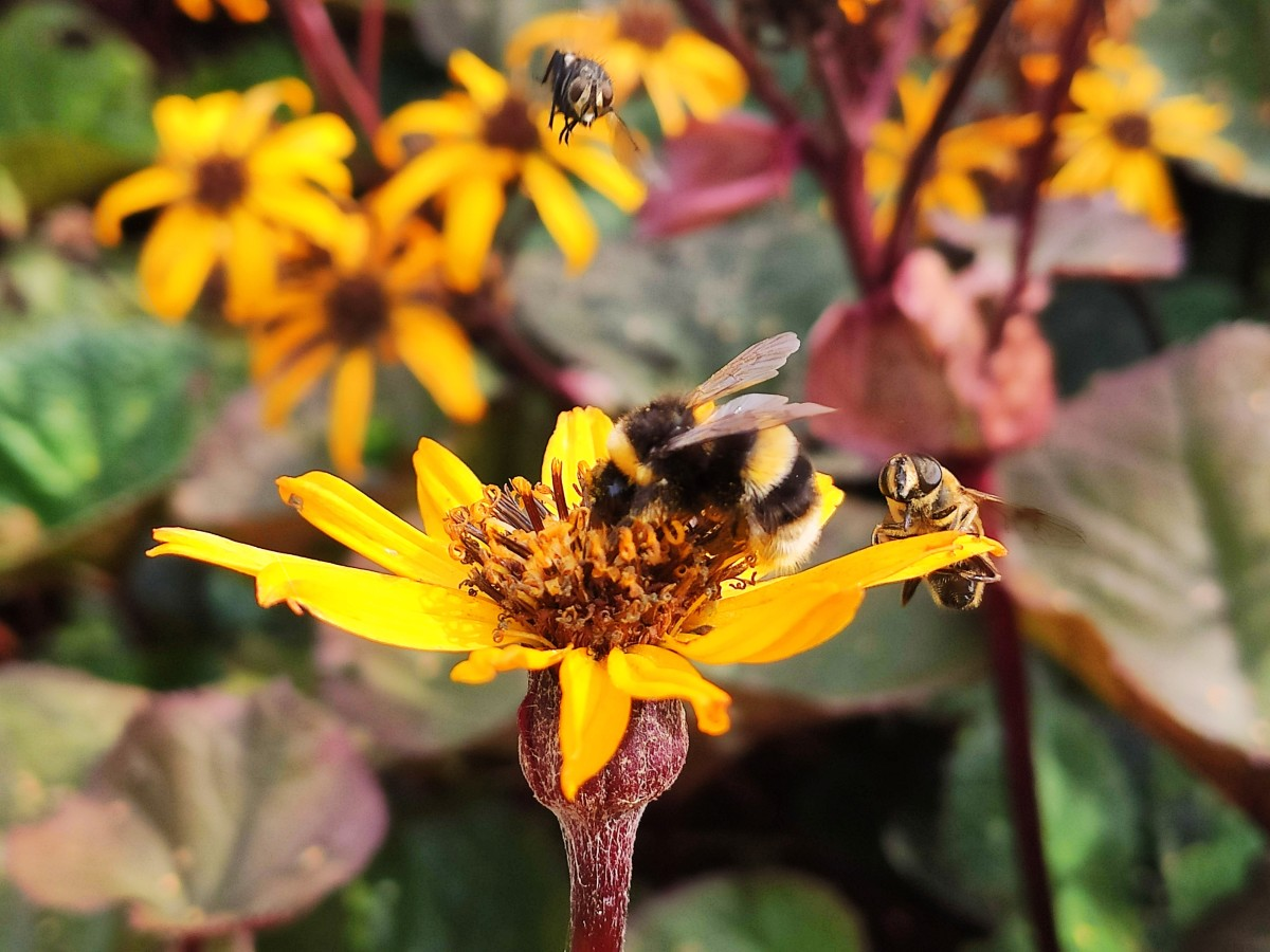 Late-blooming flowers like this Ligularia 'Britt-Marie Crawford' will help draw bees and butterflies to your garden long after most other blooms have faded.