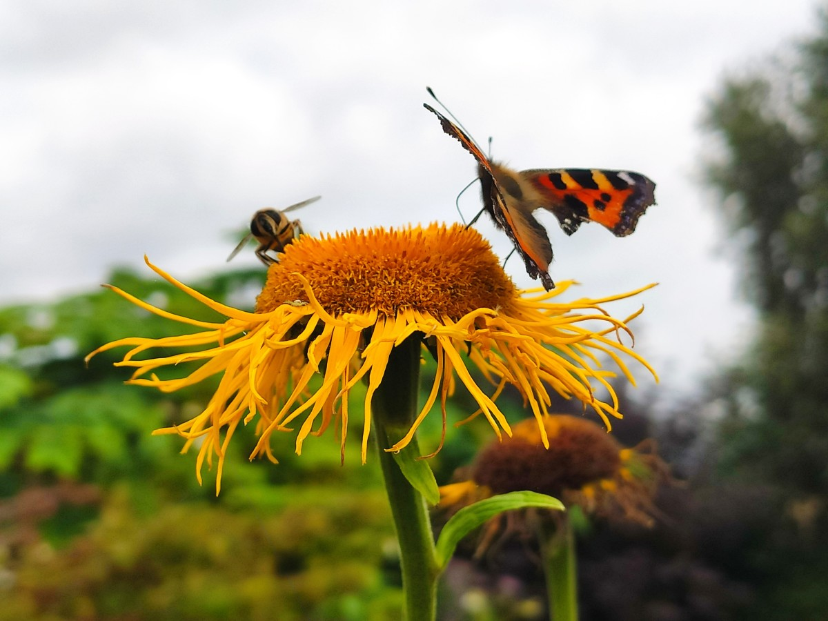 A bee and a butterfly share nectar from the same telekia bloom.