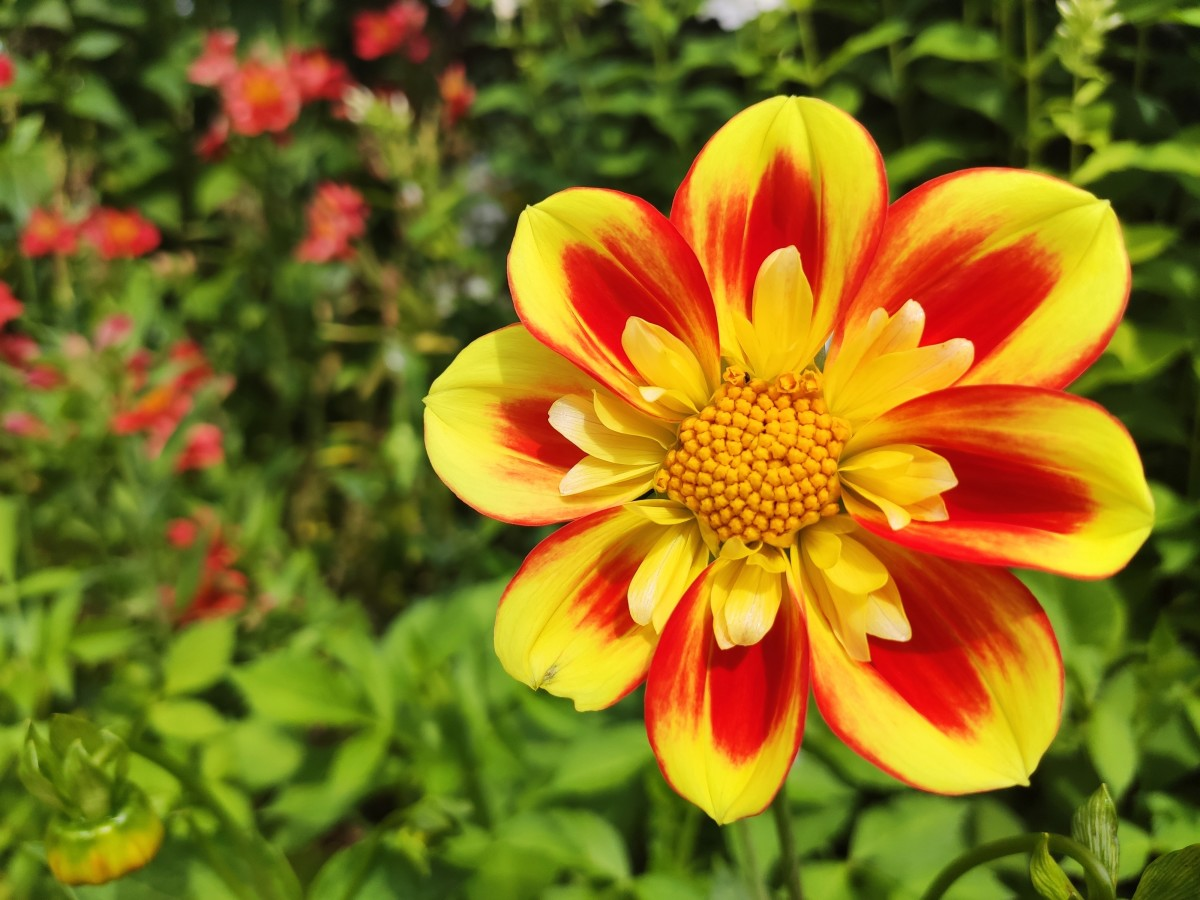 Single-flowered dahlias like this Dahlia 'Pooh' are great for pollinators.