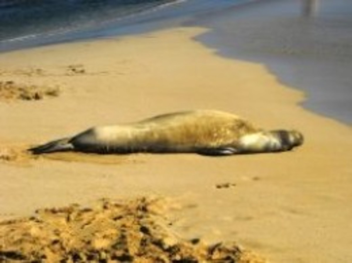 Monk seal on Poipu Beach