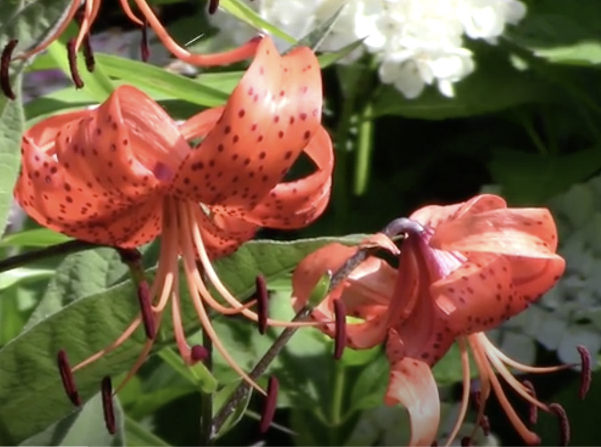 What could be more elegant than a tiger lily in bloom?