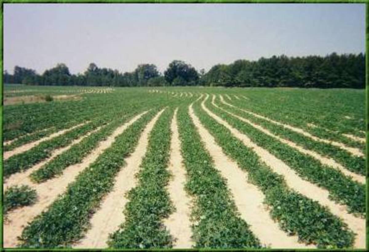 Field of Peanuts Growing